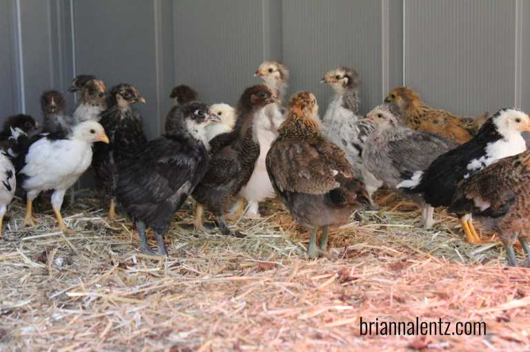 Chicks during First Frost