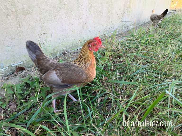 Broody Hen 1